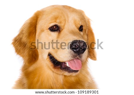 Handsome pure breed golden retriever dog - stock photo