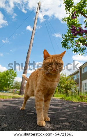 handsome red tabby cat defending his territory - stock photo