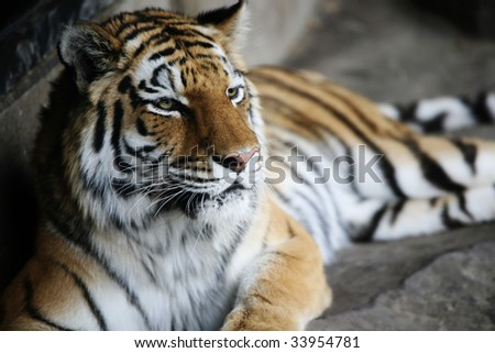 Handsome tiger resting  in cool corner of habitat, with dark corners. Shallow DOF used, on face