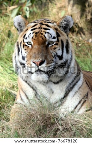 Handsome tiger with beautiful striped fur lying on grass - stock photo