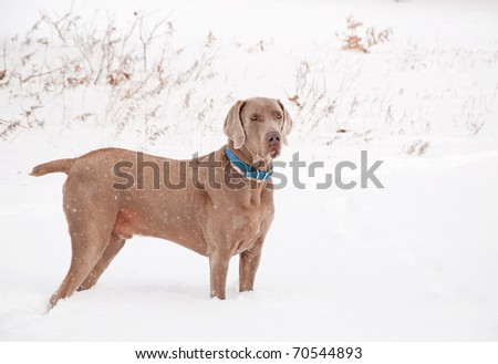 Handsome Weimaraner dog in heavy snow fall - stock photo
