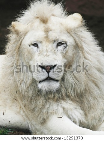 handsome white lion - stock photo
