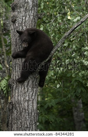 Hanging Around.  Young brown colored black bear (Ursus Amricanus) holds tight to a tree while looking at the ground below.  Young bears climb trees for safety. - stock photo