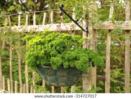 Hanging Basket Of The Herb Parsley (Petroselinum Crispum) In The Fruit And  Vegetable Garden