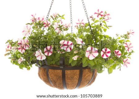 Hanging basket with a petunia over a white background - stock photo