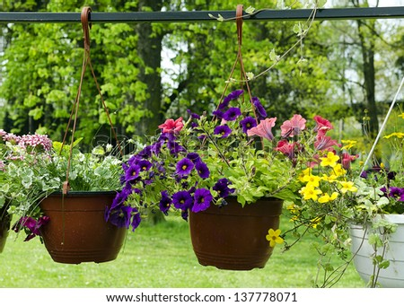 Hanging baskets with petunia flowers hanging in a garden. - stock photo