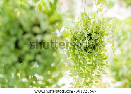 Hanging decorate green ivy plants in the garden, closeup with blurred background