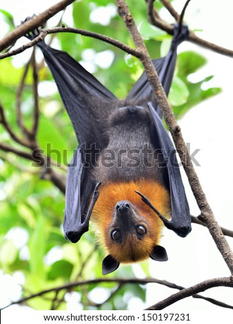 Hanging flying fox on tree branch with eyes opening and scary looking - stock photo