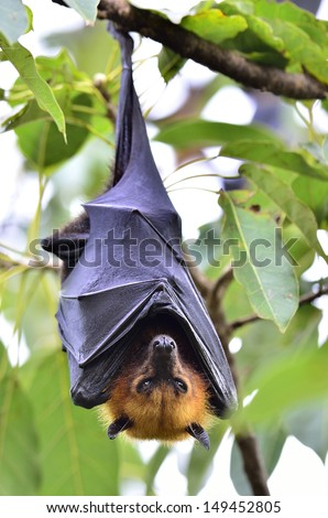 Hanging Lyle's flying fox on the tree branch, Pteropus lylei - stock photo