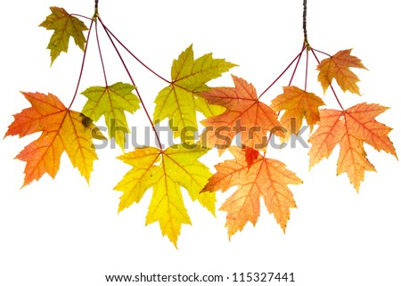 Hanging Maple Tree Branches with Changing Fall Leaves Isolated on White Background