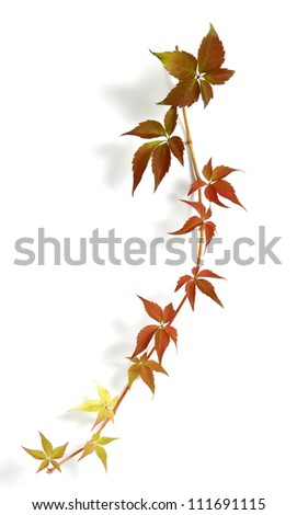 Hanging shoot of a climbing plant - stock photo