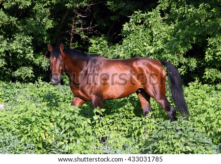 Hanoverian bay horse in a summer forest