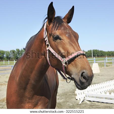 Hanoverian mare breed. Beautiful close up portrait. - stock photo