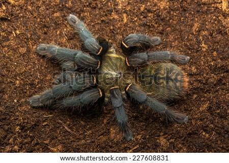 Haplopelma hainanum adult female tarantula fresh skin moult, colours are so brilliant. This arachnid has a white beard!  - stock photo