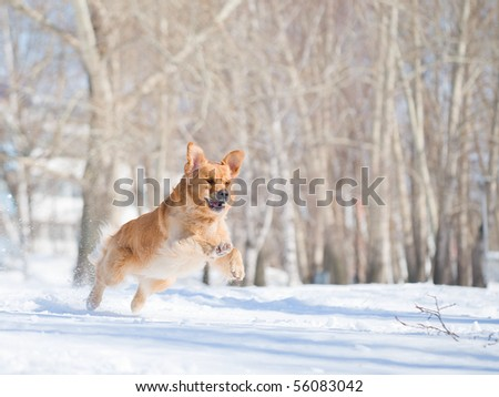 Happiness: golden retriever dog in a jump above snow - stock photo