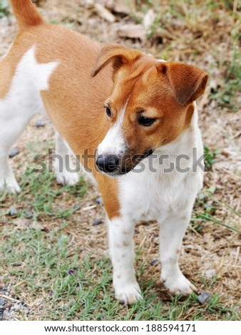 happy active 12 months young Jack Russel terrier dog white and brown playing on a green grass area making funny face, run and play in green field outdoor under sunlight in good weather day  - stock photo