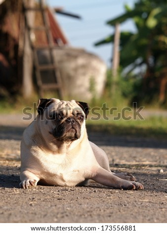 happy active white pug dog making serious face, laying on the country road near a green field outdoor under morning sunlight and long shadow on the ground with country house elements in the background