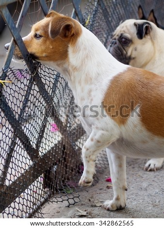 happy active young Jack Russel terrier dog white and brown playing around, barking outside, making serious face, with fat cute pug dog blur in the home surrounding background, on good weather day - stock photo