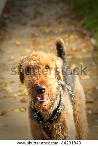 Happy airedale terrier dog outdoors in a fall setting - stock photo