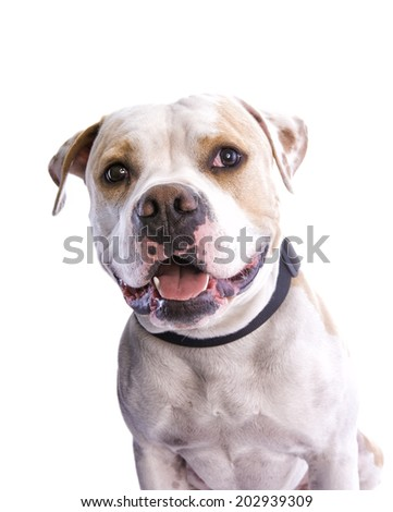 Happy American Pit Bull Terrier head shot isolated on white background