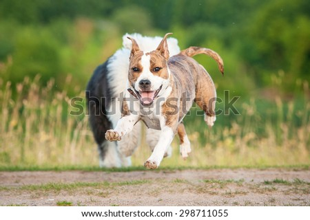 Happy american staffordshire terrier dog running away from bobtail puppy - stock photo