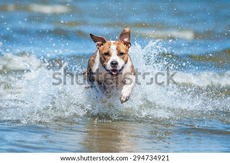 Happy american staffordshire terrier dog running in the water among the waves of the sea - stock photo