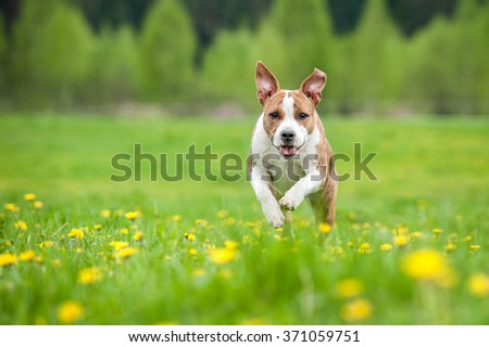 Happy american staffordshire terrier dog running on the field with dandelions - stock photo