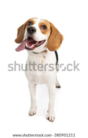 Happy and active young Beagle breed dog looking up with mouth open and tongue out. Isolated on white. - stock photo