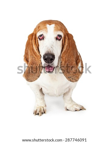 Happy Basset Hound dog looking forward into the camera