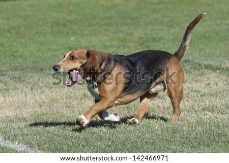 Happy basset hound enjoys running in a Colorado off-leash park, Spring.