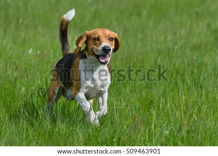 Happy beagle dog having fun on then green grass