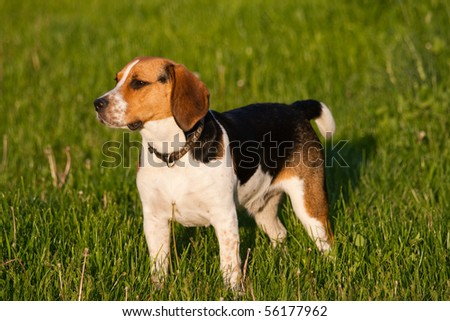 Happy beagle dog in a park - stock photo