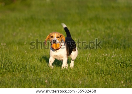 Happy beagle dog plays with a ball in a park - stock photo