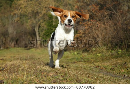 Happy Beagle dog running in autumn park - stock photo