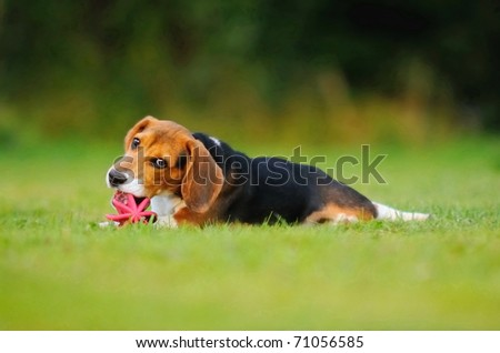 Happy beagle puppy dog in the meadow plays with a ball - stock photo