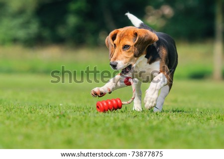 Happy beagle puppy dog plays with a ball - stock photo