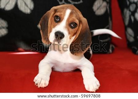 Happy beagle puppy lies on a sofa - stock photo