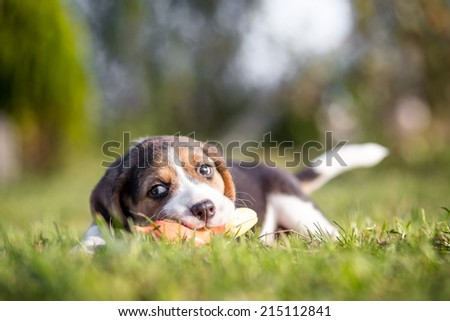 Happy beagle puppy playing with toy - stock photo