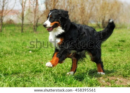 happy Beautiful Bernese mountain dog runs are fun in the summer outdoors - stock photo