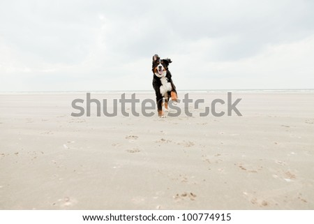 Happy berner sennen dog outdoors playing and running on the beach. Enjoying nature. Stormy day. - stock photo