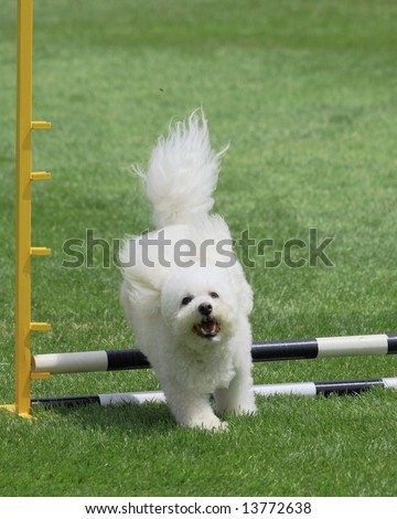 happy Bichon Frise jumping at agility trial - stock photo