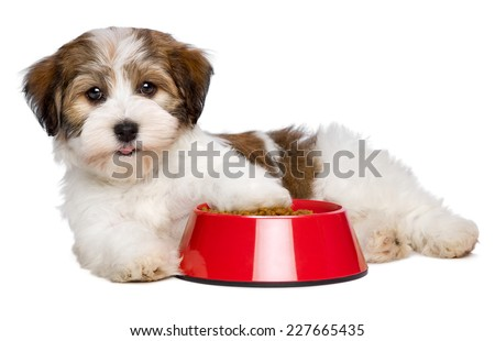 Happy Bichon Havanese puppy dog is lying beside a red bowl of dog food and looking at camera, side view - isolated on white background - stock photo