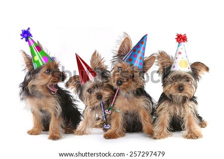 Happy Birthday Theme Yorkshire Terrier Puppies on White Singing - stock photo