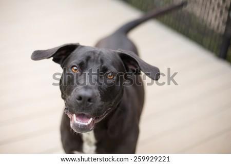 Happy black dog plays outside - stock photo