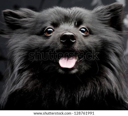 happy black dog with big smile - stock photo