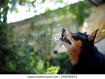 happy black fat lovely cute miniature pinscher dog standing in home green area  making funny face watching on something outdoor on a sunny day. - stock photo