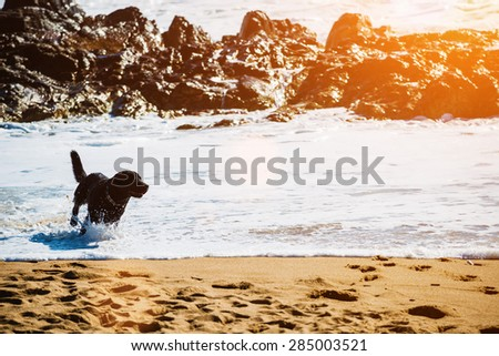 Happy, black Labrador retriever running through waves, dog on the beach.Sunset light, lens flare, copy space - stock photo