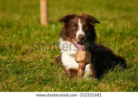 Happy border collie - stock photo