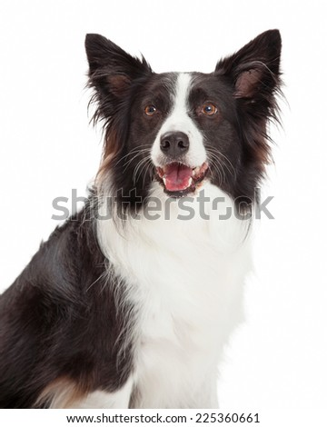 Happy Border Collie Dog Closeup with face and neck.