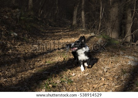 Happy border collie puppy in the wood